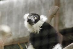 Ruffed Lemur is a mammal. Is a colorful animal that has a black body alternating with white stock photography