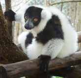 Ruffed lemur Stock Images