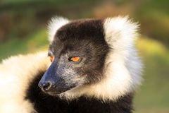 Ruffed lemur portrait Royalty Free Stock Images