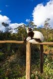 Ruffed lemur Varecia variegata Royalty Free Stock Images