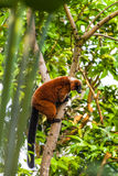 ruffed lemurred Fotografering för Bildbyråer