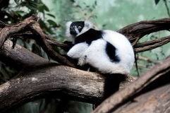 Ruffed Lemurs Stock Images
