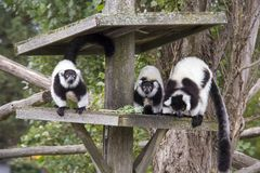 Ruffed Lemurs Stock Photography