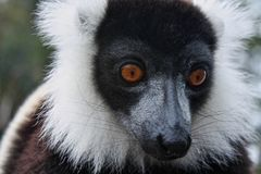 Ruffed maki i Madagascar Royaltyfri Bild