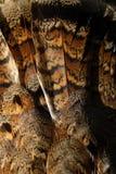 Ruffed skogshöns Wing Feather Close Up Arkivfoto