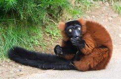 ruffed varecia för lemur röd rubra royaltyfri foto