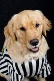 Rufferee - костюм Referree собаки Стоковая Фотография