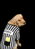 Rufferee - Dog Referree Costume. Golden Retriever dressed up as a referee for Halloween Royalty Free Stock Images