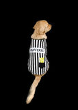 Rufferee - Dog Referree Costume. Golden Retriever dressed up as a referee for Halloween Stock Photo