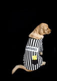 Rufferee - Dog Referree Costume. Golden Retriever dressed up as a referee for Halloween Royalty Free Stock Photos