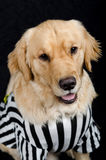 Rufferee - Dog Referree Costume. Golden Retriever dressed up as a referee for Halloween Stock Photography