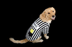 Rufferee - Dog Referree Costume. Golden Retriever dressed up as a referee for Halloween Stock Images