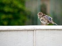 Ruffled bird on a wall Stock Photo