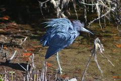 Ruffled Blue Feathers. The little blue heron (Egretta caerulea). It has slate blue feathers and stands about 24 inches tall. Photo taken at JN Ding Darling stock photography