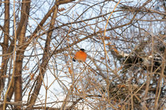 Ruffled bullfinch sitting on the branches of a Bush in the cold Royalty Free Stock Photo