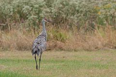 Ruffled Feathered Sandhill Crane. Ruffled feathered and showing its rump, a sandhill crane walks in a meadow of gone to seed ironweed and golden rod royalty free stock photo