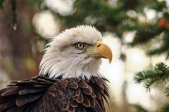 Ruffled Feathers Royalty Free Stock Photos