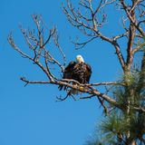 Ruffled Feathers bald eagle royalty free stock images