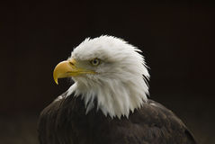 Ruffled feathers on  an eagle. Bald eagle with ruffled feathers Royalty Free Stock Image
