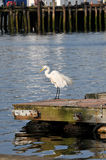 Ruffled Feathers. A lone egret shaking out his feathers on the dock at Gloucester Harbor stock photo