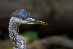 Ruffled heron portrait. Great blue heron portrait with ruffled feathers Royalty Free Stock Images