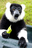Ruffled Lemur. Black and White Ruffled Lemur Royalty Free Stock Image