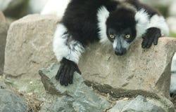 Ruffled Lemur Stock Images
