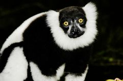 Ruffled Lemur (Varecia Variegata). Black and White Ruffled Lemur (Varecia Variegata) at Monkeyland, South Africa, near the Tsitsikamma Forest which it situated Stock Images