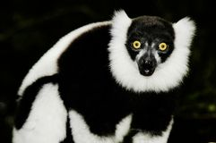 Ruffled Lemur (Varecia Variegata) Royalty Free Stock Images