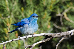 Ruffled Mountain Bluebird Perched in a Tree Royalty Free Stock Photos