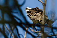 Ruffled Osprey Perched High in the Tree Stock Image