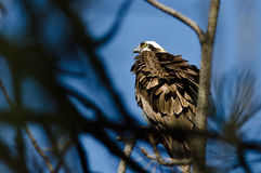 Ruffled Osprey Perched High in the Tree Stock Images