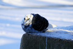 Ruffled pigeon in winter day. Pigeon ruffled from the cold in winter frosty day Royalty Free Stock Photos