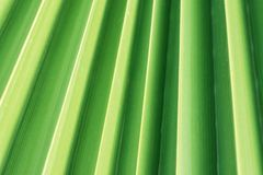 Ruffled Pleated Palm Leaf Tree with Corrugated Texture with Natural Striped Geometrical Pattern. Soft Pastel Greenery Color. Tropical Foliage Nature Background Stock Images
