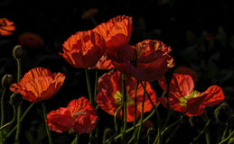 Ruffled Poppies in the Bright California Sunshine Royalty Free Stock Photos