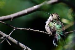 Ruffled Ruby-Throated Hummingbird Royalty Free Stock Photos