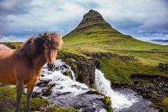 Ruffled sleek Icelandic horse Royalty Free Stock Image