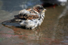 Ruffled Sparrow sitting in a puddle of water Royalty Free Stock Photography