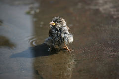 Ruffled Sparrow sitting in a puddle of water Stock Photo
