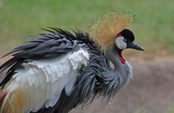 Ruffled up. African Crowned Crane Royalty Free Stock Images