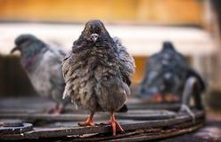 Ruffled wood pigeons after rain. Venice, Italy Stock Photos