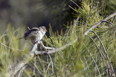 Ruffles. Bird perched on a tree branch while ruffling its feathers Stock Images