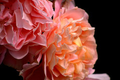 Ruffles. The ruffled flower contrasts well against the darkened background Stock Image