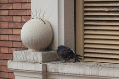 Ruffling acima do pombo de rocha no peitoril da janela fotos de stock