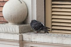 Ruffling up rock pigeon on window sill stock images