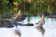 Ruffs среди чащ в болоте Стоковое Изображение RF