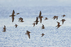 Ruffs and dunlins in flight Stock Images