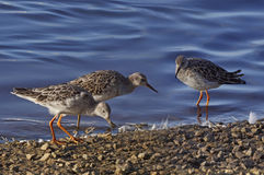 Ruffs at Martin Mere. Three Ruffs get together by a pool at Martin Mere in Lancashire, England Royalty Free Stock Photography