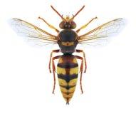 Ruficornis di Stizus della vespa Fotografia Stock Libera da Diritti