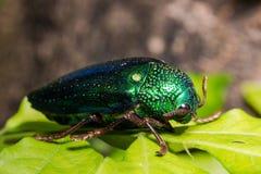 Ruficornis Sternocera жука драгоценности Стоковое фото RF